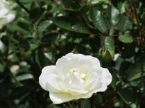 White rose with a soon-to-be-deceased greenfly