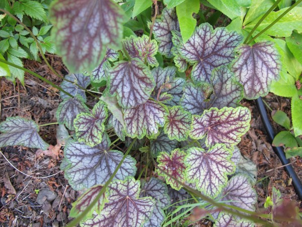 Heuchera with green foliage patterned purple