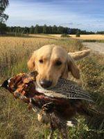 Vida apporterar fasan efter första jaktprovet NKL