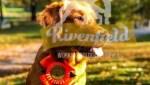 Bild på Jaktgolden Nikki som poserar med rosett efter genomfört BPH.