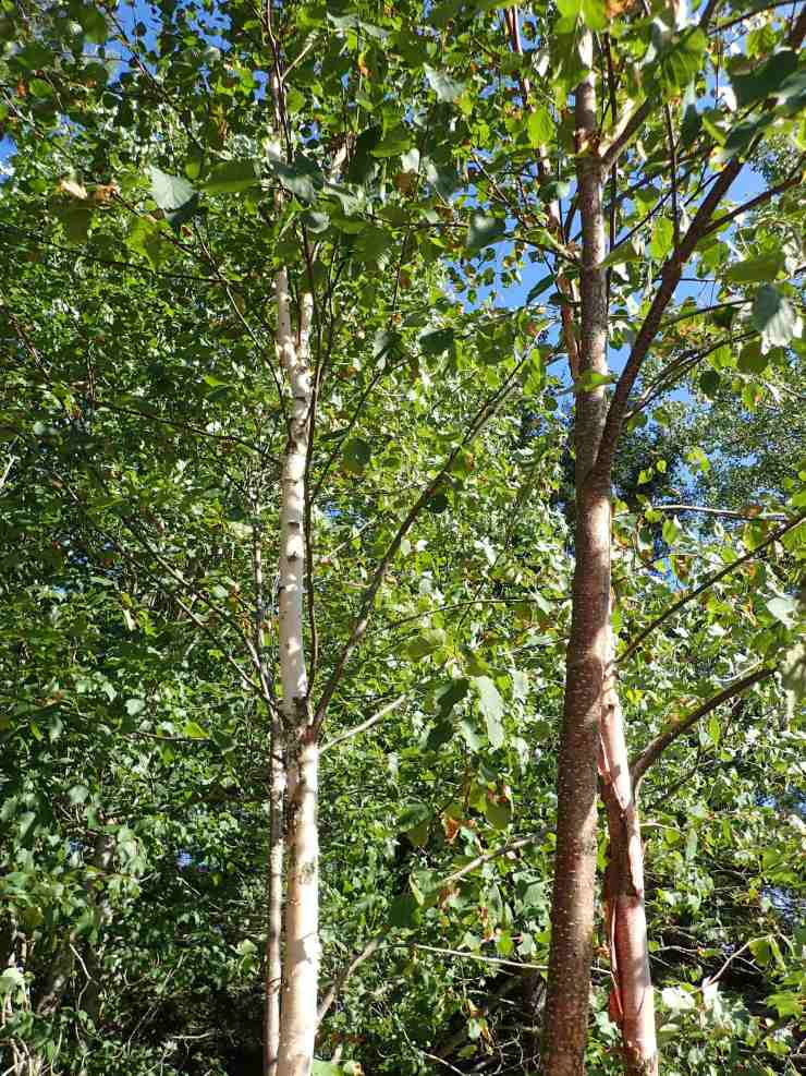 A view through the branches of a young birch tree, one of the sustainably harvested woods @rivenjoiner.com