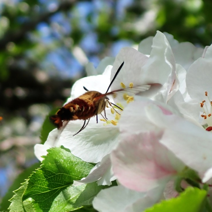 Hummingbird Clearwing Moth on apple blossoms on the homestead, at Riven Joiner & the Homestead Store.