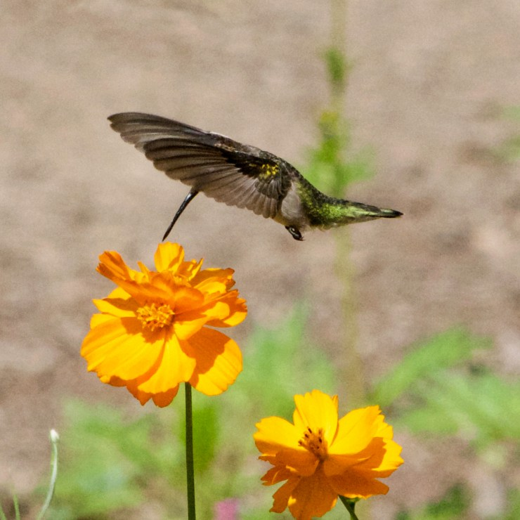 Female Ruby-Throated Hummingbird enjoying the wildflower garden on the homestead, at Riven Joiner & the Homestead Store.