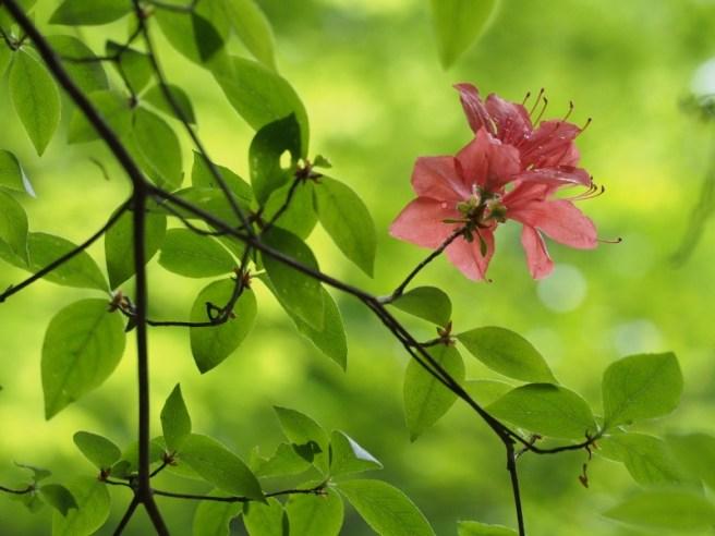 ツツジ咲くころの葉を通る緑の光