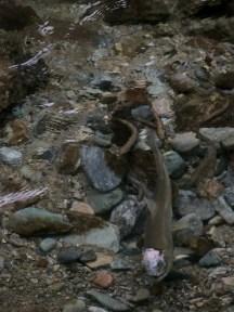 頭を傷つけたサクラマスの雌に群がるヤマメの雄