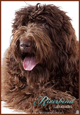 Labradoodle Puppies For Sale In Pa : labradoodle, puppies, Riverbend, Labradoodles, Labradoodle, Breeder