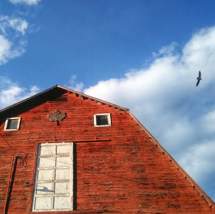 Love our barn swallow friends!