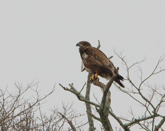 A juvenile bald eagle was spotted this afternoon in the same tree on the Peconic River. Photo: Sean Keenan
