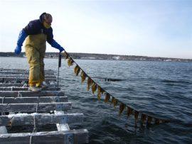 Seaweed farmer in Maine Photo: Friends of Penobscot Bay