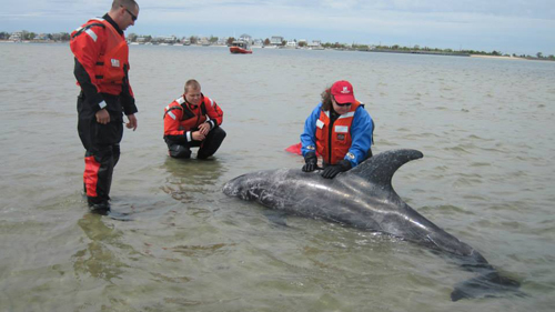 FACEBOOK PHOTO | Volunteers rescue a Risso's dolphin that became trapped on a sand bar near Oak Beach.