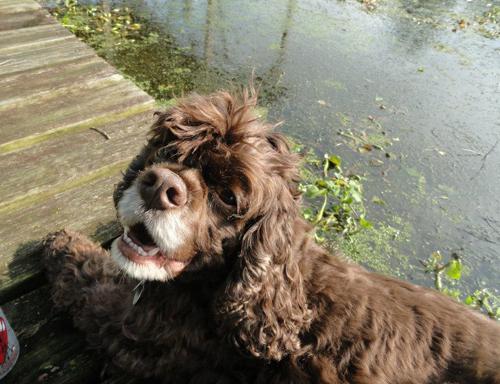Barnum, a cocker spaniel, was rescued from a puppy mill in 2009. (Credit: Joseph Pinciaro)