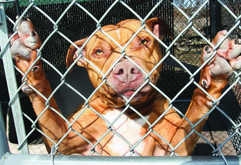 BARBARAELLEN KOCH FILE PHOTO | Reko, a 5-year-old male American Staffordshire Terrier, when he was in the shelter in 2010.