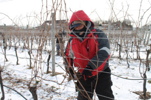 PAUL SQUIRE PHOTO   Herman Salazar trims grape vines at a vineyard in Jamesport Wednesday afternoon.