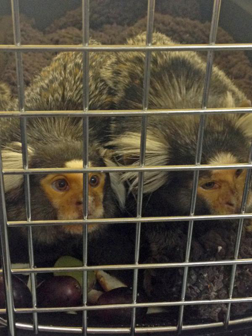 County officials received these marmoset monkeys Saturday during its first ' (Credit: SCPA, courtesy)