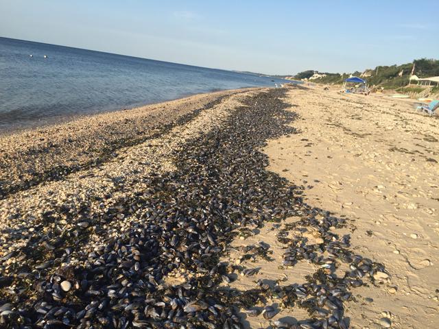 Mussels Long Island Sound Jamesport
