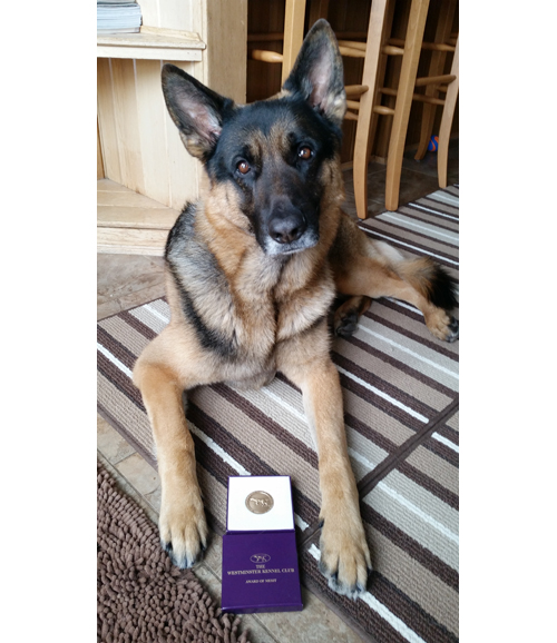 Rocket, a 4 1/2-year-old German shepherd from Riverhead, was a top finisher at Monday's Westminster Dog Show. (Credit: Sue Condreras)