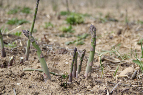 Asparagus is slowly making its way into spring at Wells Homestead Acres in Riverhead. It is not ready to be harvested until it reaches a height of at least six to eight inches. (Credit: Carrie Miller)