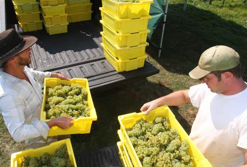 Massoud, Paumanok Vineyard, Aquebogue, Long Island Wine Country