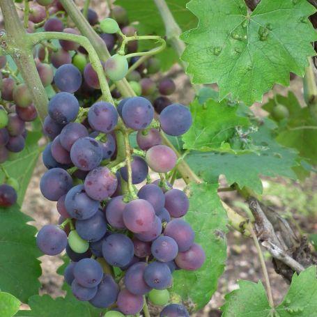 Grape Vine 'Muscat Bleu' - Riverside Garden Centre