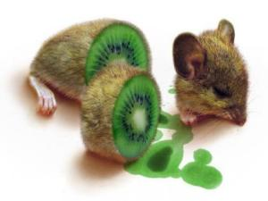 Hamster Kiwifruit