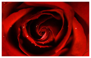The_Red_Rose_by_AmmsA7