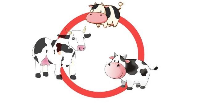 Ilustrasi gambar daur hidup sapi beserta penjelasan