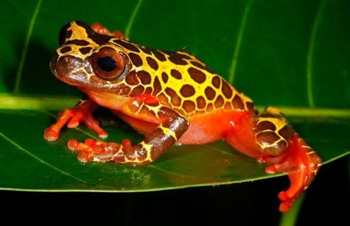 Ilustrasi salah satu jenis katak pohon