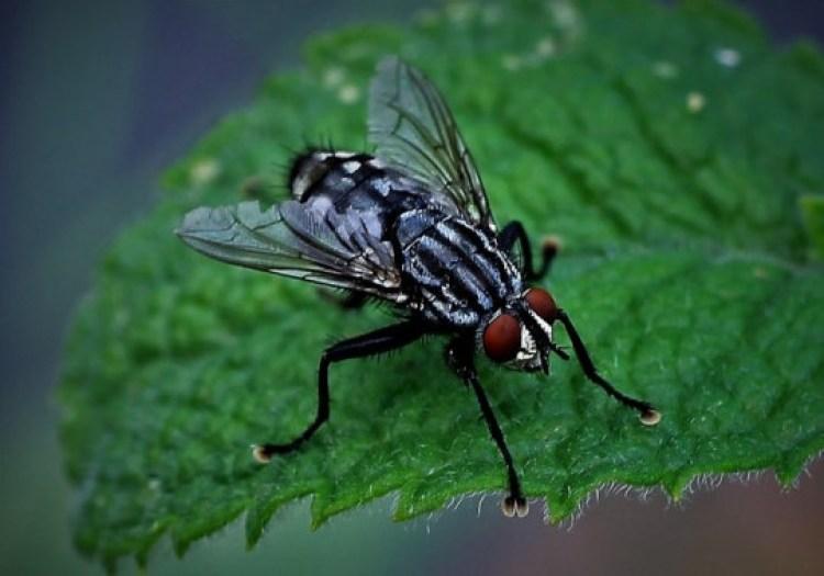 Ilustrasi cara mengusir lalat