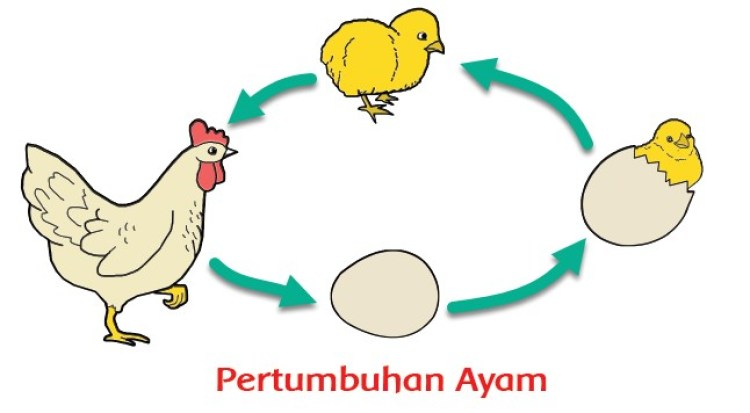Ilustrasi cara ayam berkembang biak