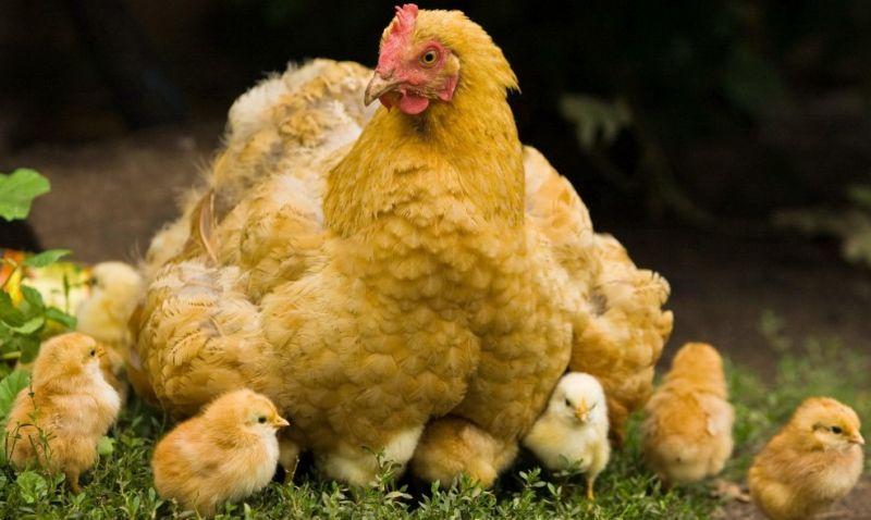 Gambar siklus daur hidup ayam lengkap