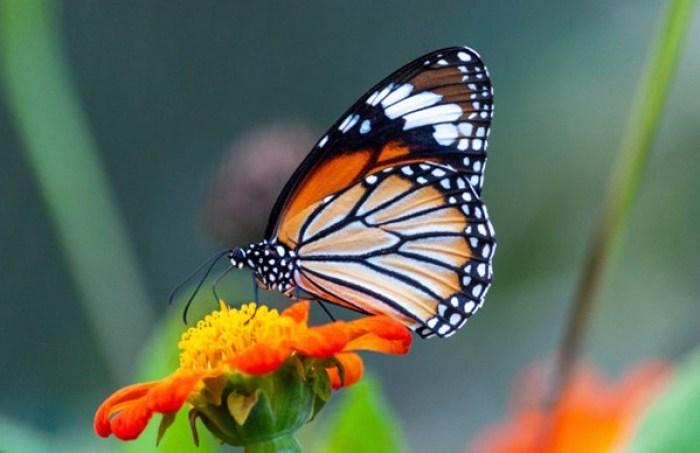 Ilustrasi kupu sedang hinggap di bunga