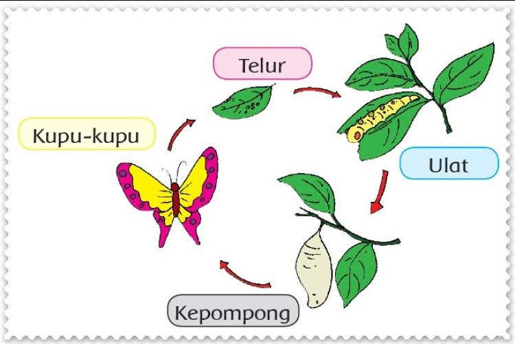 Contoh gambar daur hidup kupu kupu