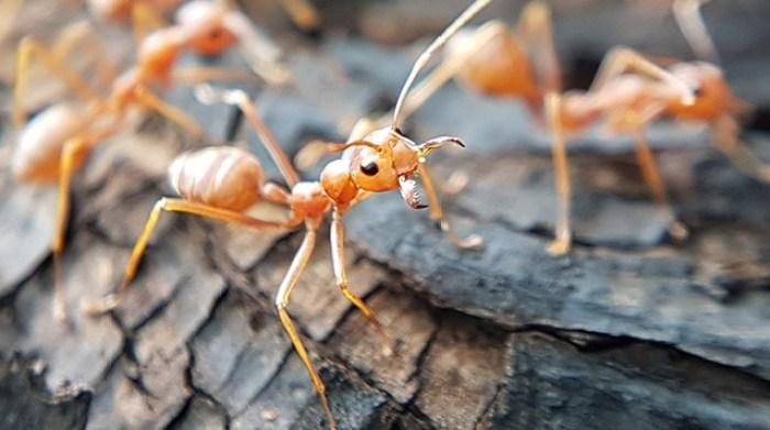 Sekilas tentang serangga semut