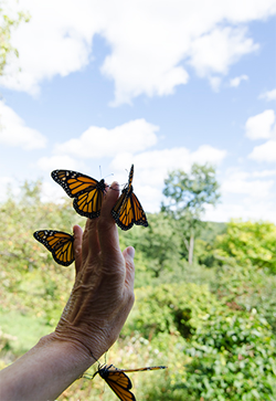 Photo moments not to be missed: Monarch release programs on Saturdays for a limited time.