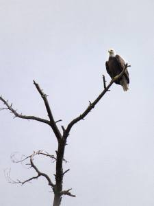 """The first eagles we encountered appeared as we entered the first rapids of the trip. We could only watch them out of the corners of our eyes as we steered through the boulders. We spotted this eagle during calmer waters and were able to get a better look."""