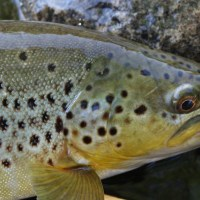 Favorite Fall Patterns for Fly Fishing Western Streams in the U.S.