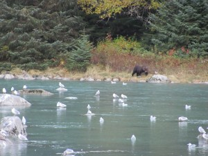 Brown Bear fishing Chilkoot River.