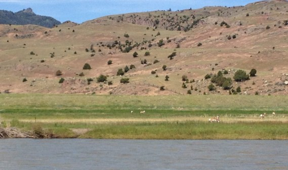 Pronghorn take advantage of fields planted for cows.
