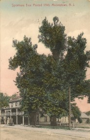 Sycamore Tree Planted 1740, Main Street, Moorestown, NJ