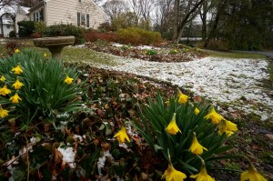 Confused Daffodils on Cedar Lane, 3-25-13