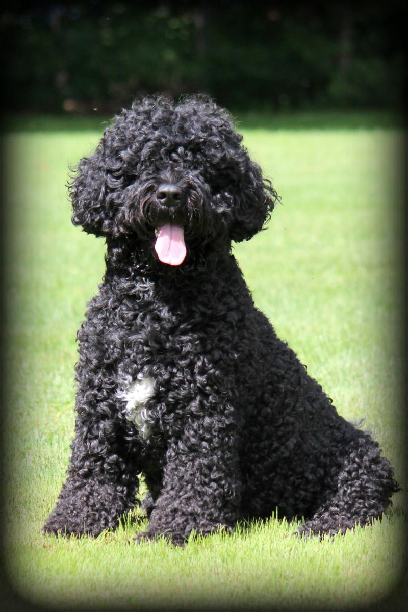 Portuguese Water Dog Brown And White : portuguese, water, brown, white, Riverwaves, Portuguese, Water
