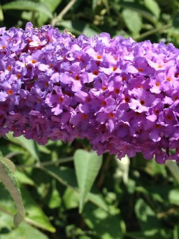 The butterfly bush, English Summer