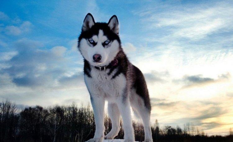 Siberian Husky, il compagno fedele che viene dal freddo