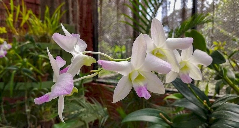 giardini botanici di peradeniya orchidee