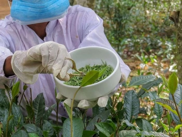 raccolta del tè in sri lanka