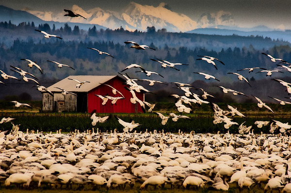 Skagit Valley Barn and Snow Geese