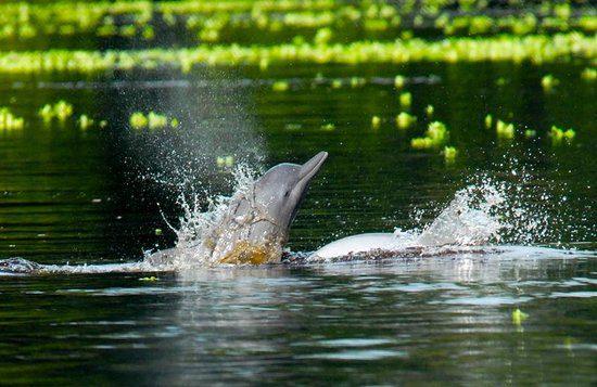 Les dauphins roses de la Réserve Naturelle de Pacaya Samiria // Tous droits réservés @TripAdvisor