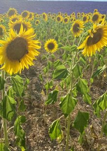 champs-de-tournesol-sud-france