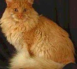 صورة القط ماين كون Maine Coon Cat , صور و معلومات عن القط ماين كون