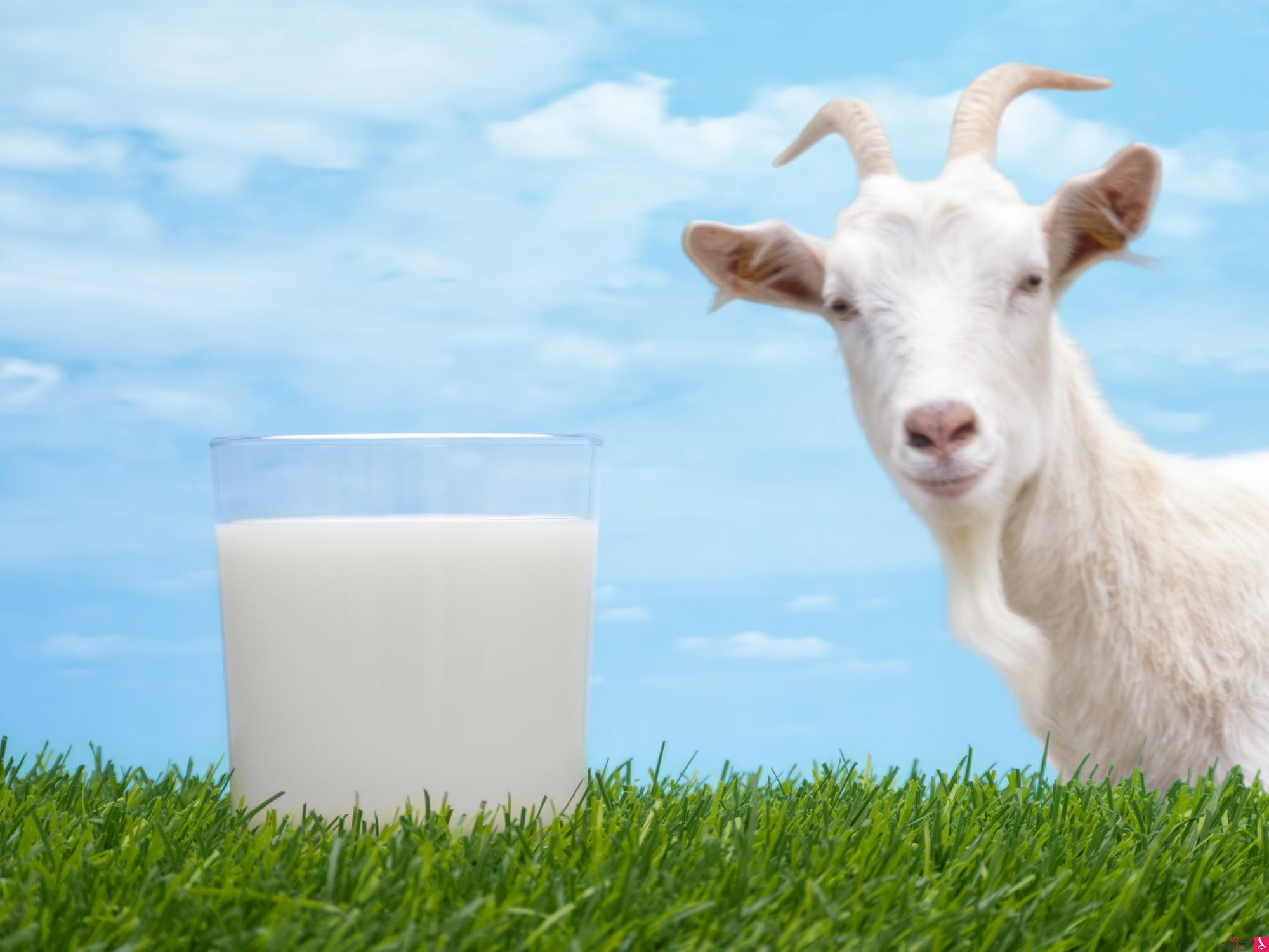 حليب الماعز